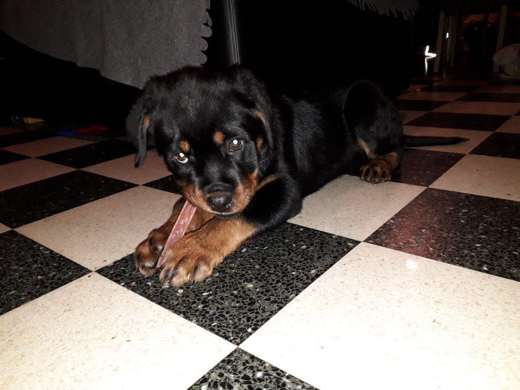 rottweiler puppy te koop
